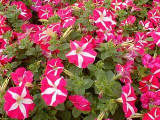 2.492 PLANTAS DE TEMPORADA (DE PRIMAVERA) SE PLANTARÁN EN LA CIUDAD DE TARIFA: GAZANIAS, TAGETES, PETUNIAS...