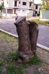 LA HABANA (CUBA): ARBOLADO URBANO DE LA REVOLUCIÓN